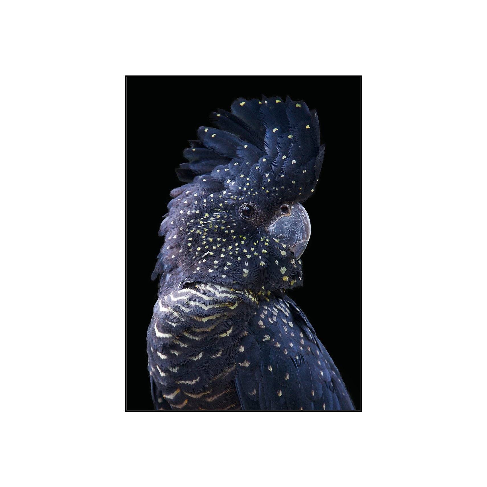 COCKATOO FR Lærredsprint 92 x 65 cm - Blue og Sort ramme