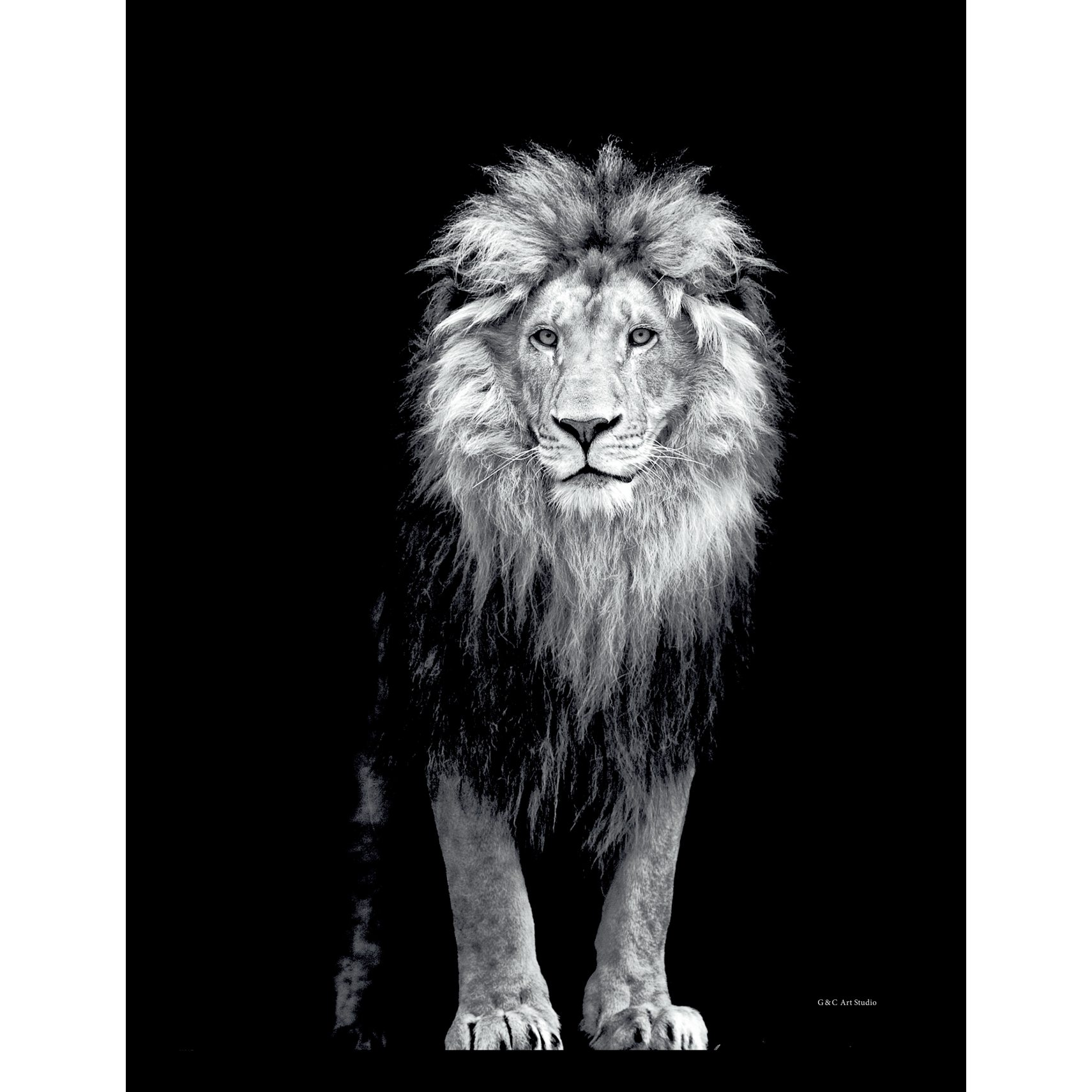 ART GALLERY Plakat 30 x 40 x 1,5 cm - Lion portrait og ramme i 15 mm sort fyrretræ